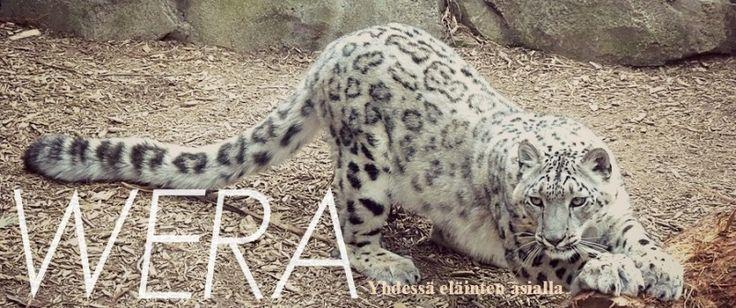 Lumileopardi on tunnuseläimemme. #snowleopard