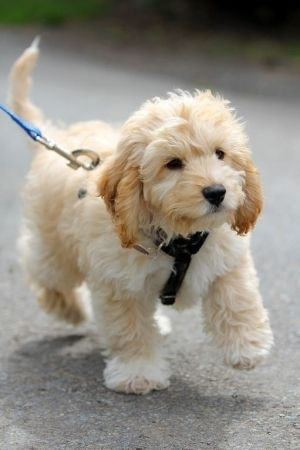 Cavalier King Charles Spaniel and poodle mix- a mini king charles without all the shedding. i'm in love.