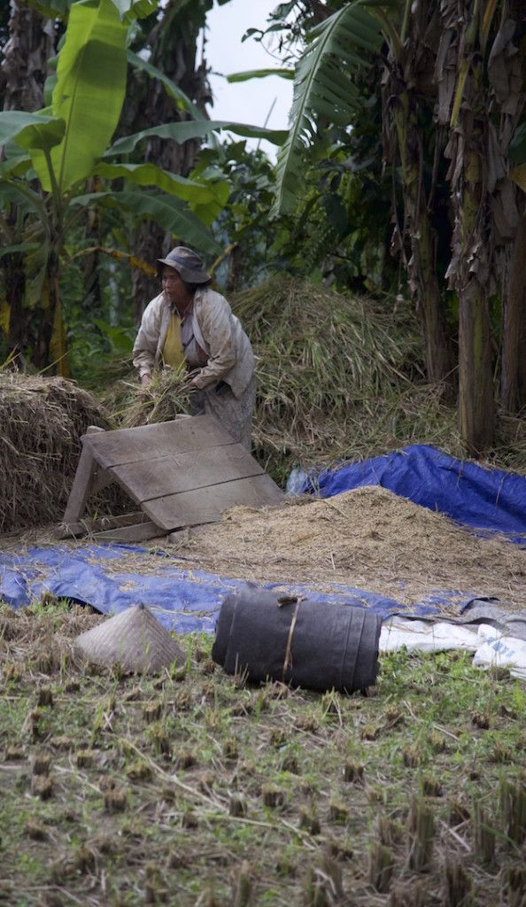 Padi field worker in Bali.
