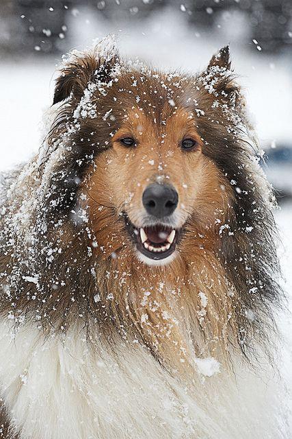 fy-herdingdogs:    Cató the snowman by bjarkihalldors on Flickr.