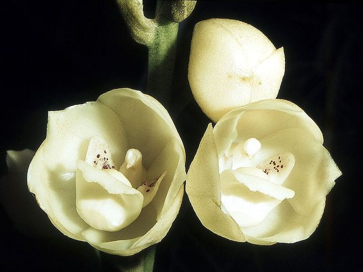 Panama, Holy Ghost Orchid or Dove Orchid Candy flowers