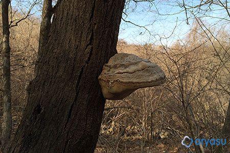 고로쇠나무 말굽버섯