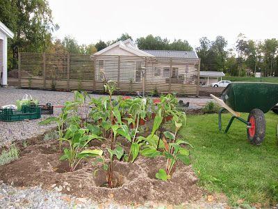 Plantering hösten 2013, röd Solhatt, lavendel, vit solhatt, timjan
