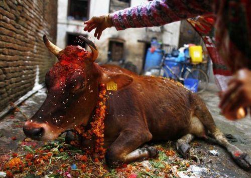 """Bunuh Sapi bisa dipenjara seumur hidup  Ilustrasi penyucian hewan Sapi  Majelis Negara di Gujarat India hari Jum'at (31/3) memperketat aturan """"Aksi Perlindungan Hewan"""". Saat ini warga yang membunuh Sapi bisa diancam hukuman penjara terberat seumur hidup. Aturan juga termasuk ancaman penjara 7 sampai 10 tahun bagi mereka yang memiliki daging Sapi atau denda yang berkisar $ 1500 hingga $ 7500. """"Dengan saran dari pata tetua Hindu kami telah mengubah aturan. Ini adalah hukum paling keras di…"""