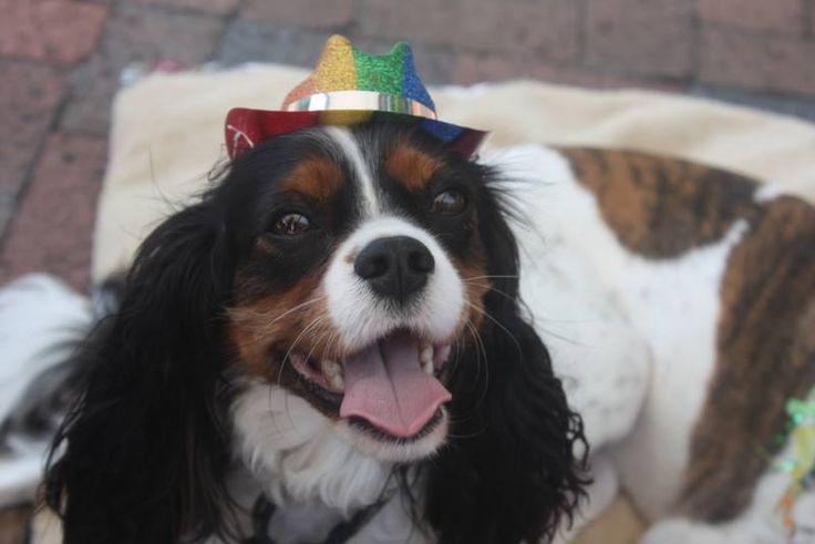 Ann's dog Quinn. Such a happy boy! #AnimalHospital #Veterinarian #Pets #KAH #FrederickMaryland #KingsbrookAnimalHospital #Vet #CommunityEvents #FrederickPride #CavlierKingCharlesSpaniel