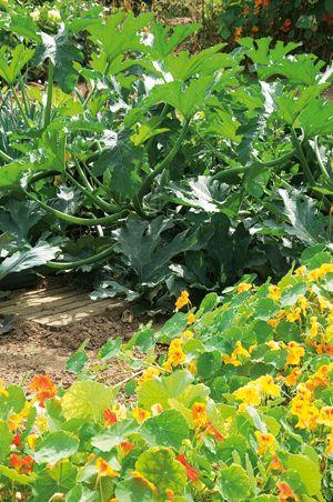 Maladies et ravageurs des concombres et cornichons