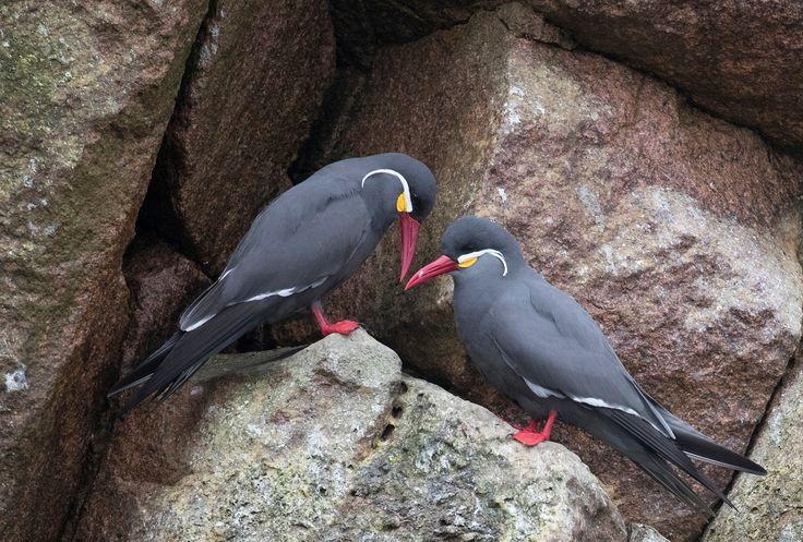 Inca tern couple. - Inca tern couple on the Ballestas Islands.
