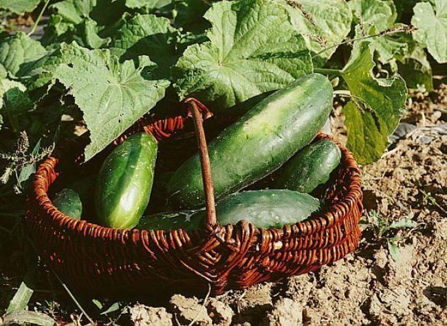 cultiver concombre et cornichon cucumber and planters. Black Bedroom Furniture Sets. Home Design Ideas
