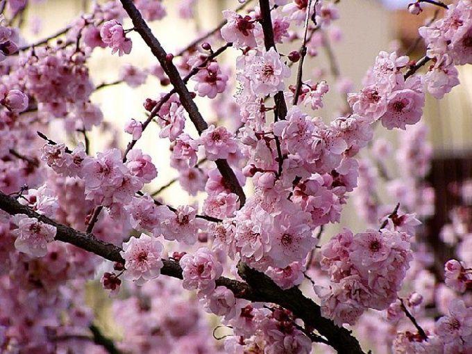 Как цветет миндаль