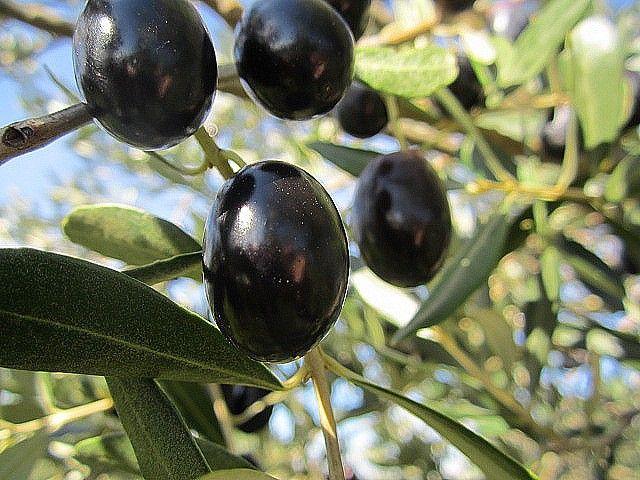 Il dolce senza l'amaro, il blues dell'oliva