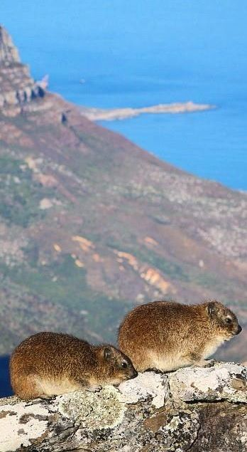 Dassies on Table Mountain are a close relative to elephants due to their unique feet.