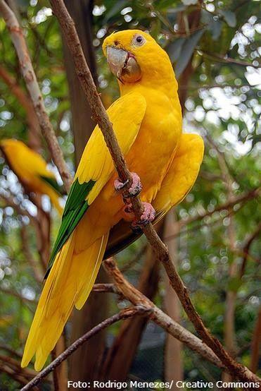Ararajuba #brasil #amazonia