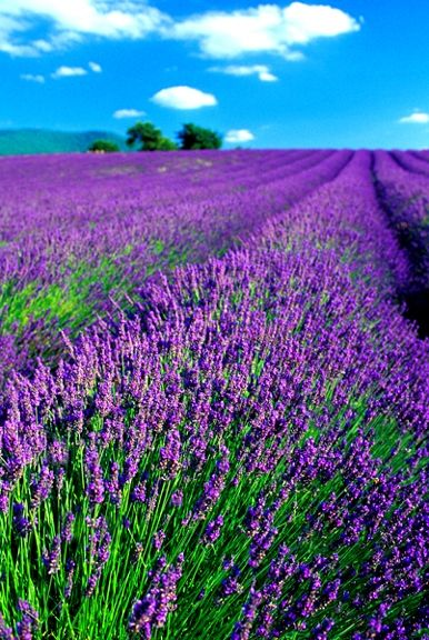 The stretch of purple... you can almost smell these lavender fields. Great place to visit= Provence, France