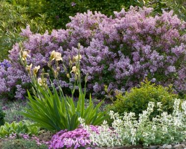 Dwarf Korean Lilac A dwarf, spreading lilac with reddish-purple buds opening to pale lilac fragrant flowers. Blooms profusely in mid-season, typically mid-May and first flowers at an early age. Use in shrub border with evergreen background or plant in groups to form a low hedge. Deciduous. 5 ft tall, 5-7 ft wide.
