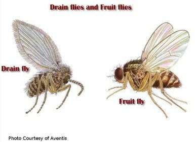 Get Rid of Fruit Flies & Gnats in the Kitchen Fast, Easy, & Natural