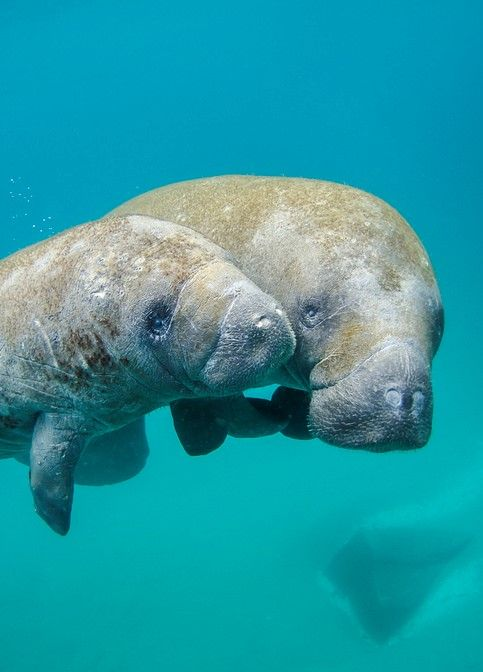 Mother manatee and calf swimming out of the Palm Beach Inlet, Florida By NOAA Photo Library