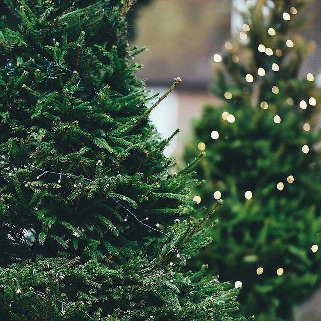 Wybraliście już choinkę na święta?  #christmas #xmas #tree #choinka #drzewko #wogrodzienajlepiej