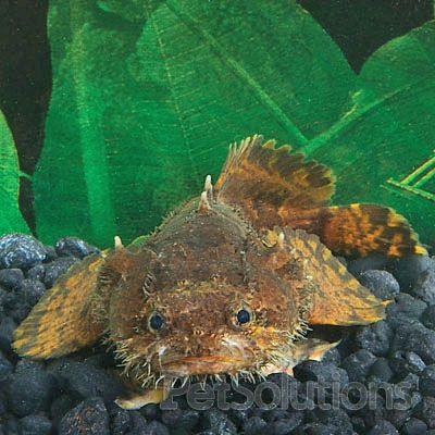 Freshwater lionfish toadfish if these were not for Aggressive fish for sale