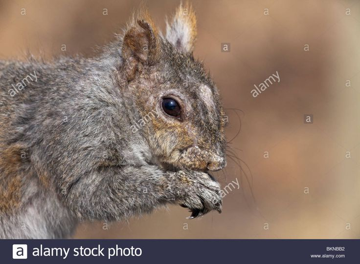Eastern Gray Squirrel In High Park In Toronto Ontario Canada Stock Photo, Royalty Free Image: 29358758 - Alamy