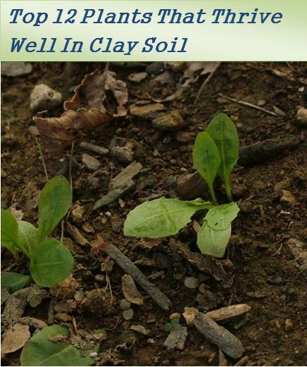 Top 12 clay soil plants- If you have a garden with clay soil then you don't worry! here is a great list of plants that grow well in clay soil.