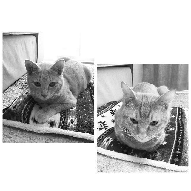 * 日替わりであたしの 座布団に座る彼たち🐈🐈 * #座布団#占領#日替わり #日替わり猫#猫ベッド#使わない * #猫#愛猫#ちゃま#まろん #今日のちゃまろんず #猫のいる生活#茶トラ#茶トラ部 #にゃんすたぐらむ#にゃんすたぐらまー #cat#cats#lovelycat#lovelycats