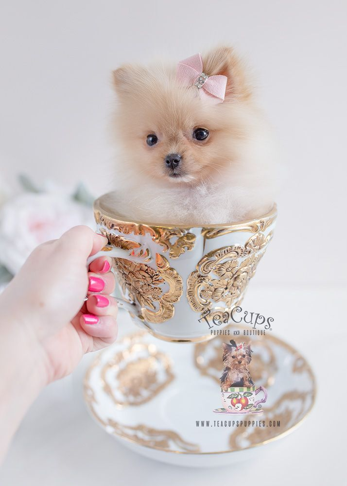 Adorable Pomeranian Puppy In A Tea Cup Pomeranian Puppy Pomeranian Puppy Teacup Pomeranian Puppy For Sale
