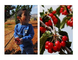 Cherry Picking in June! Leona Valley Organic, CACherries Pick, Places Ives, Valley Organic, Based Eating, Leona Valley, Cherries Seasons, Plants Based, Antelope Valley, Cherries Valley