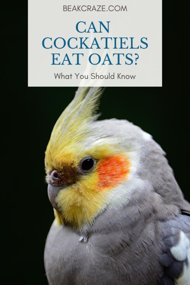 Can Cockatiels Eat Oats What You Must Know Beak Craze