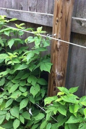 A simple espalier-style trellis holds back raspberries growing along a fence. Galvanized wire runs through screw eyes and is secured to screw eyes at either end with turnbuckles. Learn more at http://www.spottsgardens.com/vertical-garden-supports/