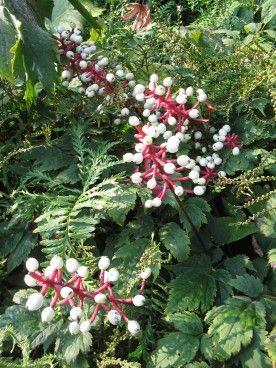 Actaea pachypoda - Christoffelkruid