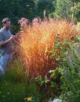 Miscanthus sinensis var. purpurascens - Flame Grass  aka Miscanthus oligostachyus 'Purpurascens'