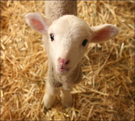 thinkin about getting a baby hair sheep as a pet later...not sure yet but they seem cool