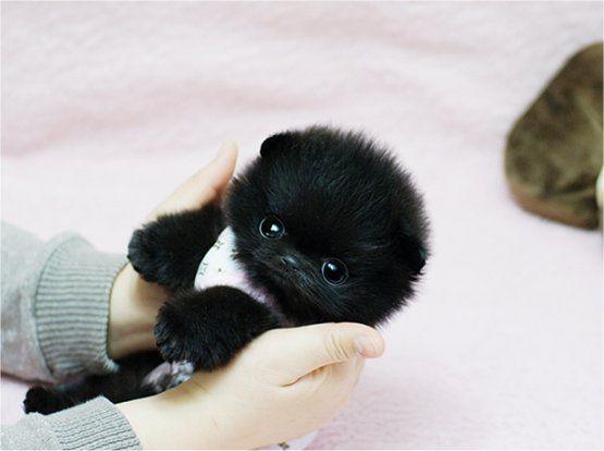 black teddy bear pomeranian - photo #15