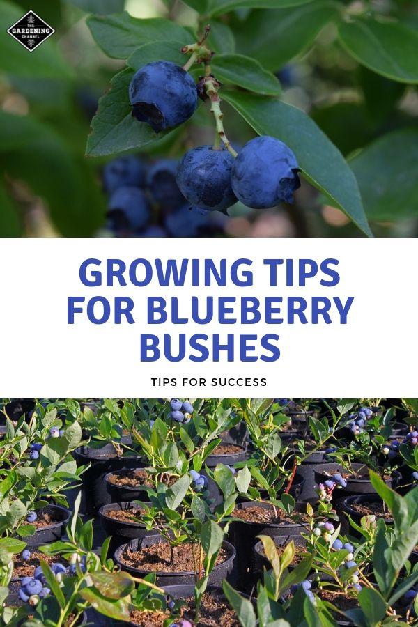Organic Blueberry Plants