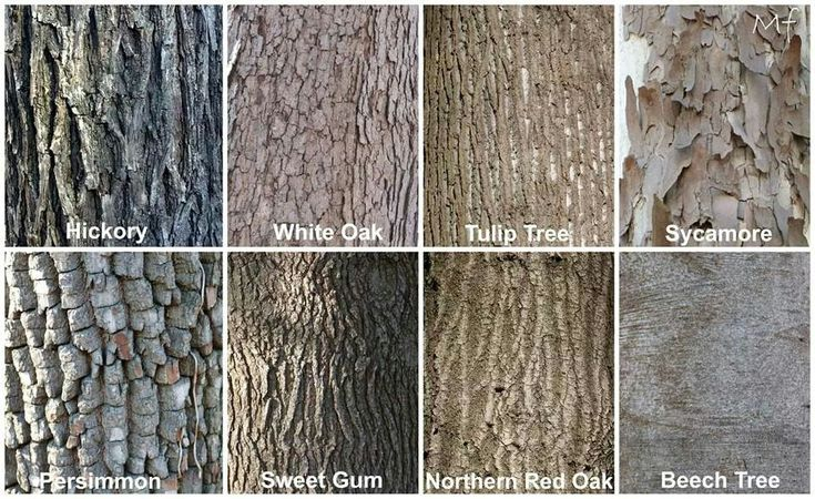 The bark is smooth light gray on young trees it eventually separates into irregular rows of long scaly ashy colored plates on older trees Silver maple is native throughout Iowa Silver maple is native throughout Iowa
