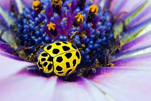 yellow ladybugs - Google Search