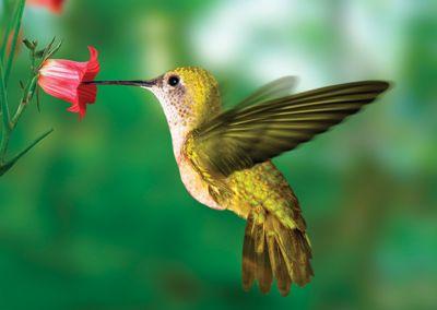 Humming bird #postcards