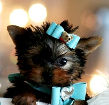 Yorkie Teacup Puppy So Cute!