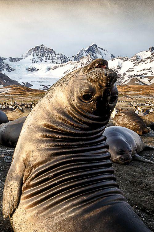 Golden Elephant Seals by Eva Ho