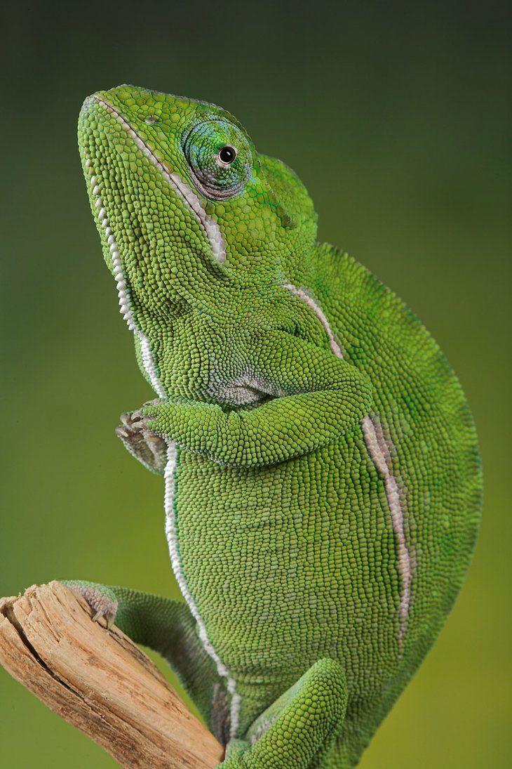 25 amazing chameleon pictures - Chameleon