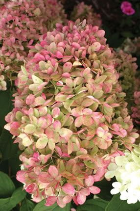 Limelight Hydrangeas. Blooms pale lime green and dries to a plum pink. Stunning.