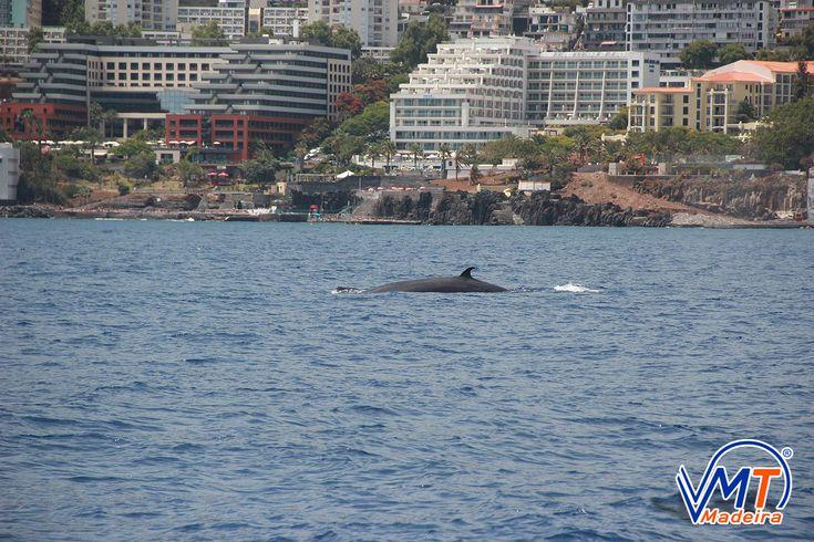 Baleia de Bryde, Bryde Whale, Madeira Island, VMT Madeira Catamaran Trips