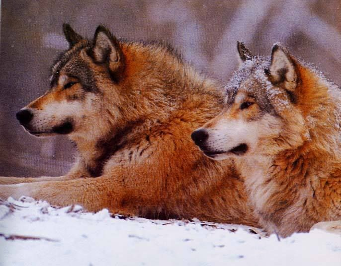 Beautiful Wolves ❤️