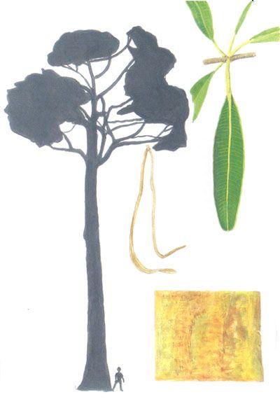 TREES COMMONLY CULTIVATED IN SOUTHEAST ASIA -  Alstonia scholarisApocynaceae Synonyms: Echites scolaris, E. pala, Tabernaemontana alternifolia  Common names: White cheesewood, milkwood pine, blackboard tree (En); pulai lilin (Bru); pulai, pule, rite (Ins); tinpet (Lao); pulai (Mal); lettok (Mya); dita, dalipoen (Phi); sattaban, teenpethasaban (Tha); caay mof cua, caay suwxa (Vie).