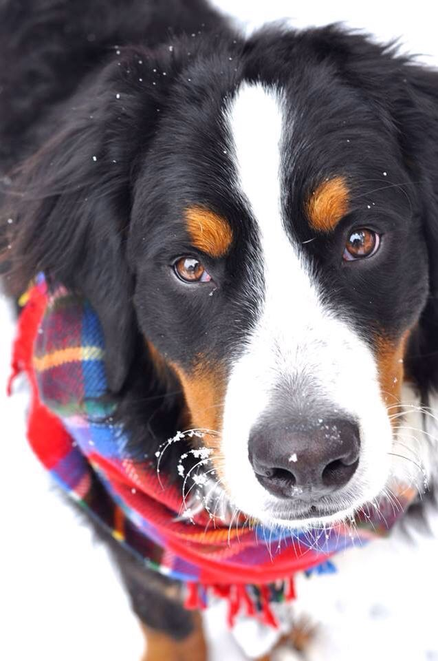 When I get a Bernese mountain dog I'm totally putting scarves on her!!