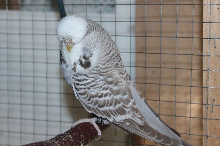 Птенцы на продажу - выставочный волнистый попугай