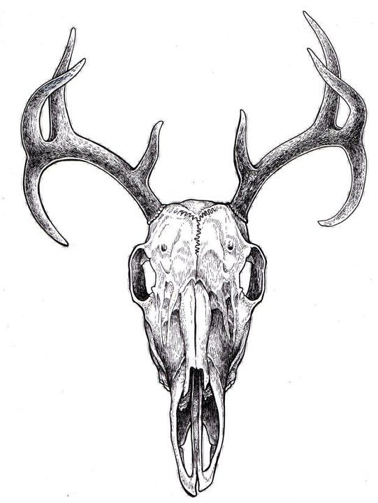 Elk skull drawing - photo#6