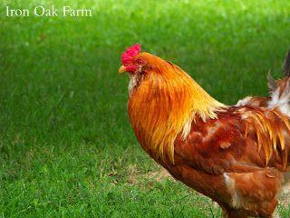 Community Chickens