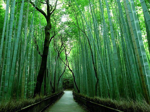 """Το """"Δάσος των Μπαμπού"""" στο Σαγκάο της Ιαπωνίας είναι ίσως ένα από τα πιο εντυπωσιακά Περισσότερ%"""