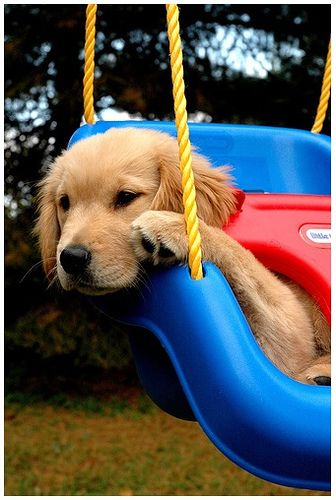 Adorable Golden puppy on a swing. So fluffy!